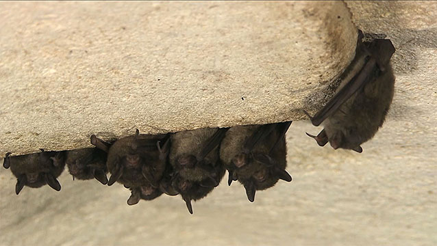 A group of bats hanging upside down in a cave