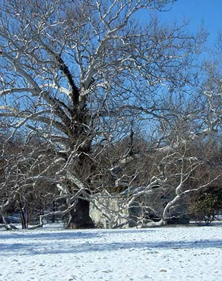 A stately sycamore tree in front of a house in the snow.