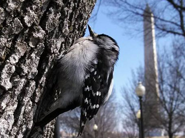 A downy woodpecker clings to a tree with the Washington Monument in the background.