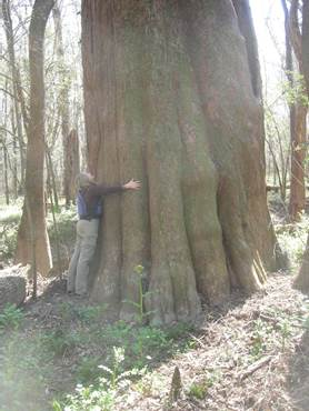 Park staff member hugging a very large cypress tree.