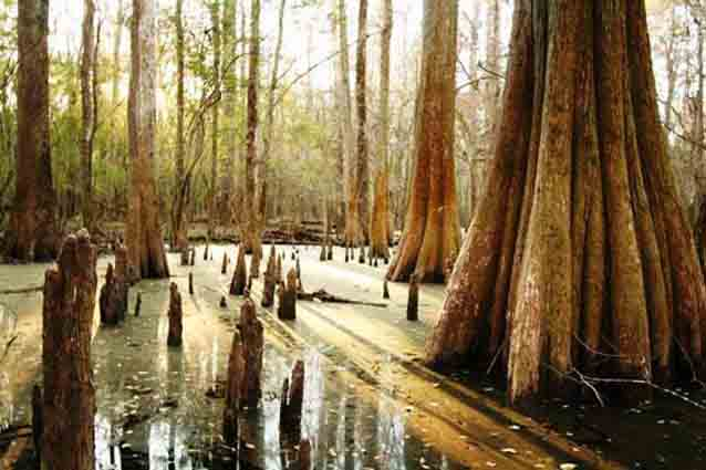 Cypress and tupelo thrive in the floodplain of Congaree National Park