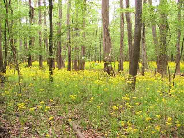 Butterweed blooms canvas the Congaree floodplain with color