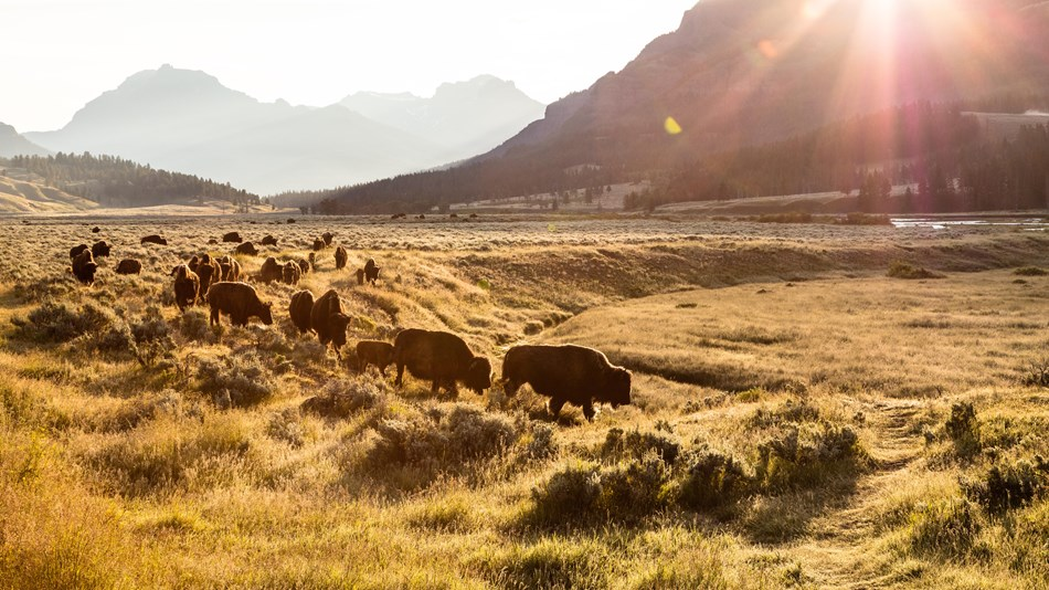 Bison group move at sunrise through Lamar Valley in Yellowstone NP
