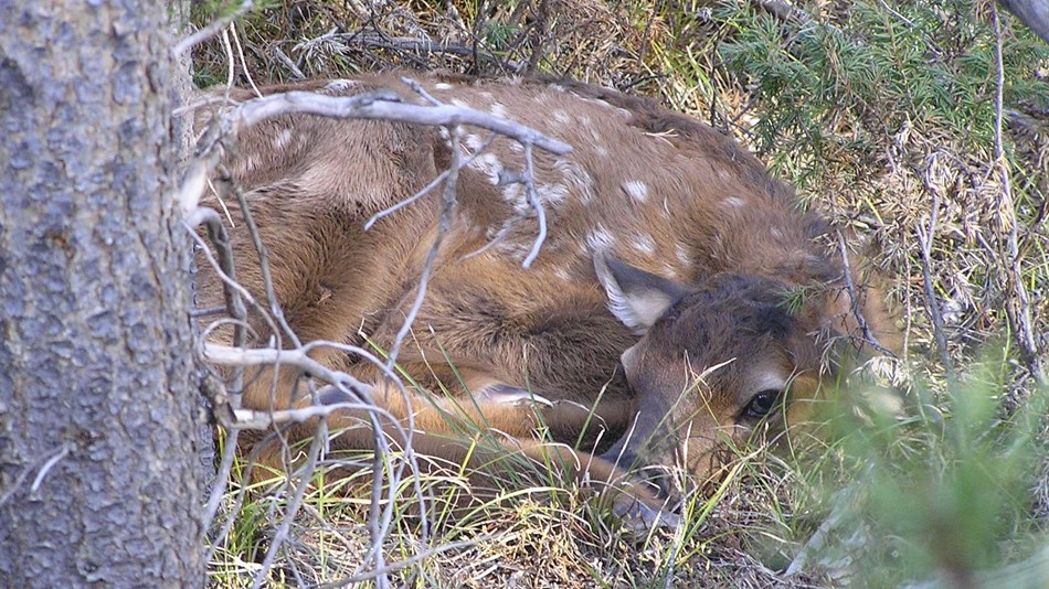 A small elk calf hides in the dense brush