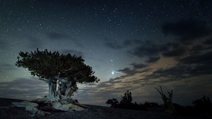 Bristle cone pine with colorful night sky in Great Basin National Park