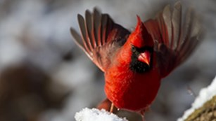 Male Northern Cardinal alighting on a snowy stump