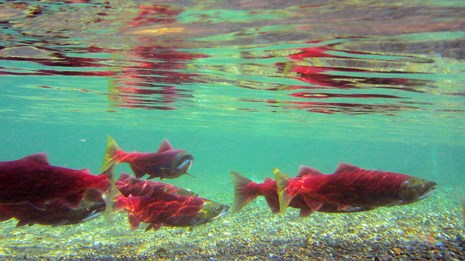 Coho salmon swimming in a river.