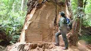 A park biologist stands next to a massive coastal redwood tree damaged by burl poachers.