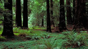 Dense forest view in Muir Woods National Monument