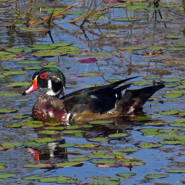 A wood duck with a bright orange bill and red eye. Photo by Wood Pawcatuck Watershed Association