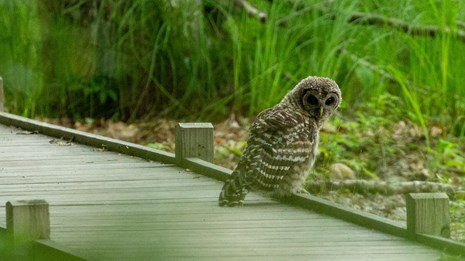 Barred owl sitting on boardwalk
