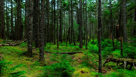 Forested area with green trees and moss
