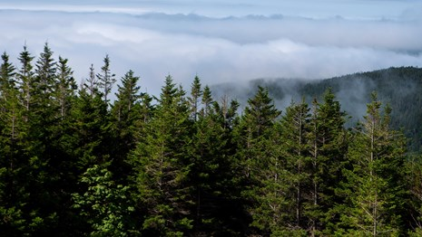 Evergreen trees line the foggy mountain view from a viewpoint