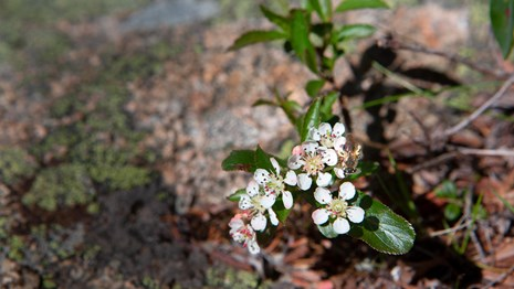 Small white flowers growing between cracks in a rock