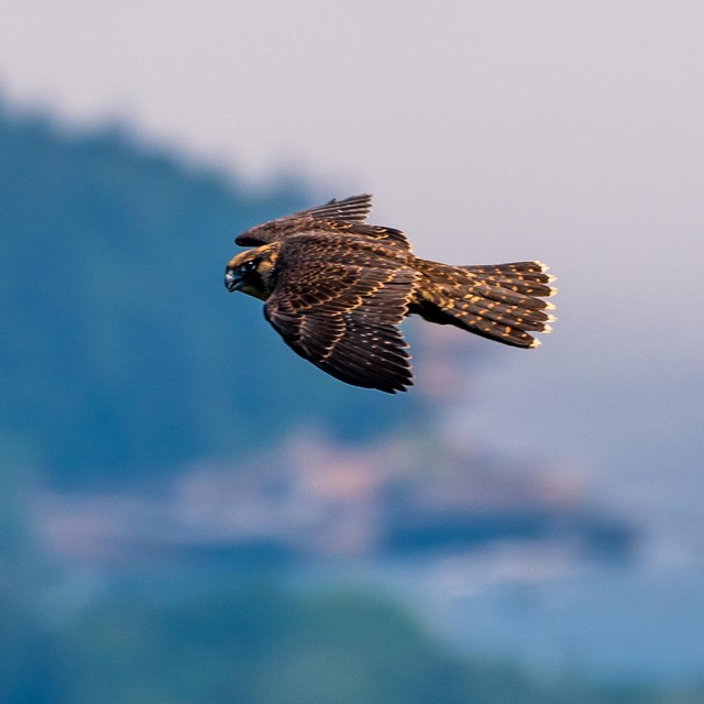 A peregrine falcon flies above the coastline