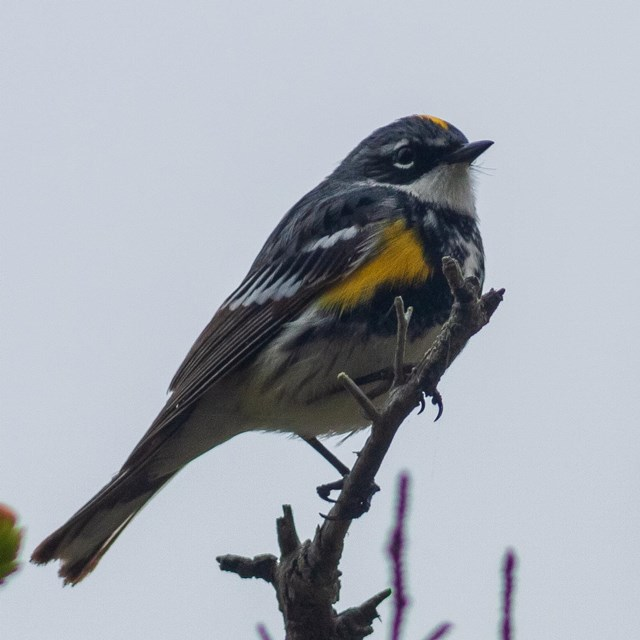 A yellow-rumped warbler perches in a tree
