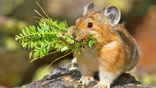 American Pika in Rocky Mountain National Park Wilderness. Photo by Fi Rust.