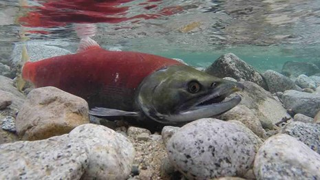 Salmon are some of the most important fisheries in Alaska.
