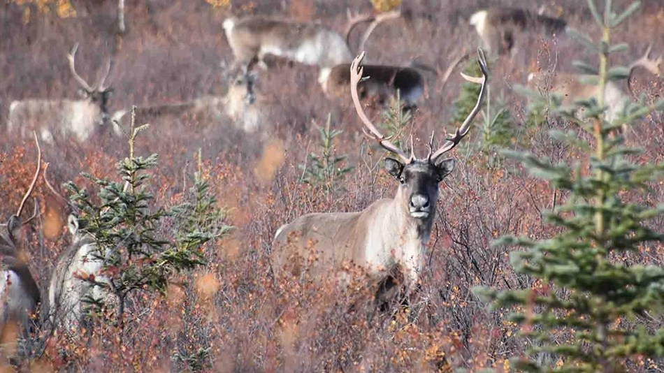 a herd of caribou