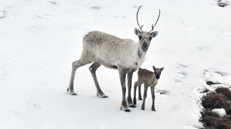 A caribou with calf in the snow.