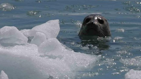a curious seal pops out of the icy waters