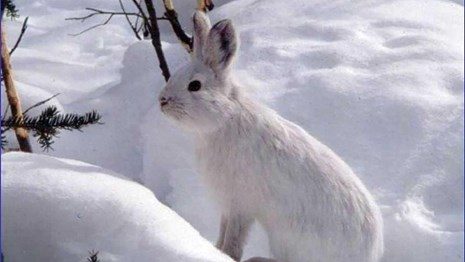 A snowshoe hare is perfectly camoflagued in the snow.