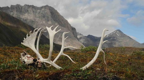 A caribou skull in the Oolah Valley of Gates of the Arctic.