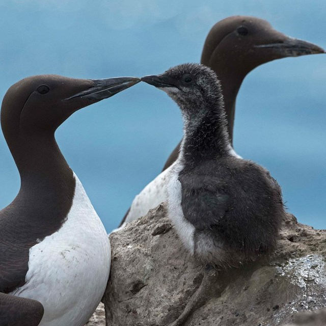 A close up image of Common Murres with a chick