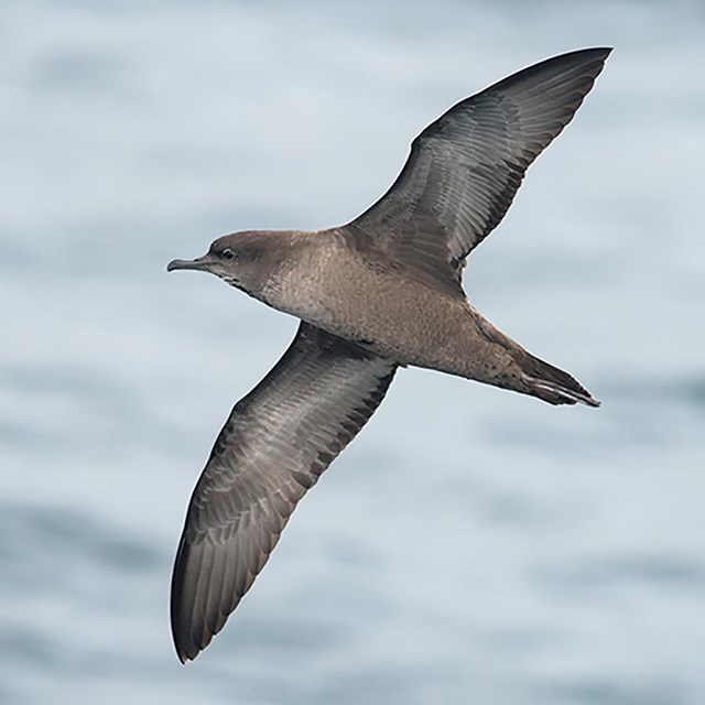 A close up image of a Short-tailed Shearwater in flight