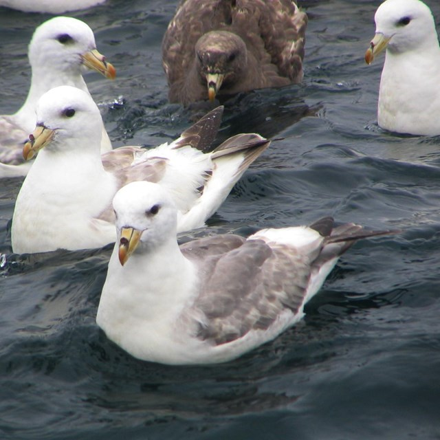 A close up image of a group of Northern Fulmars resting on the water.