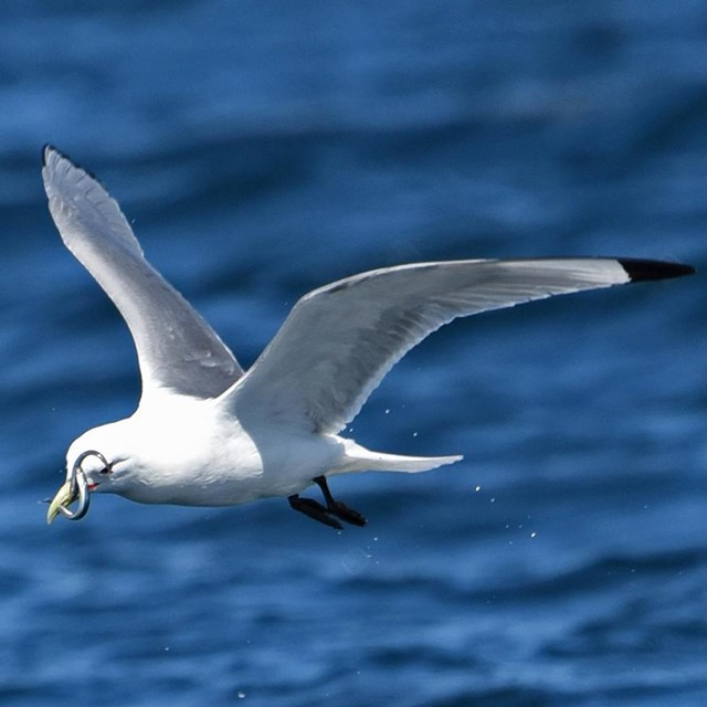 A close up image of a Black-legged Kittiwake in flight with a sand lance.