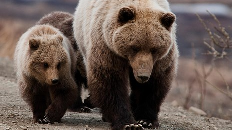 a grizzly sow and cubs walk along the road in Denali national park and preserve
