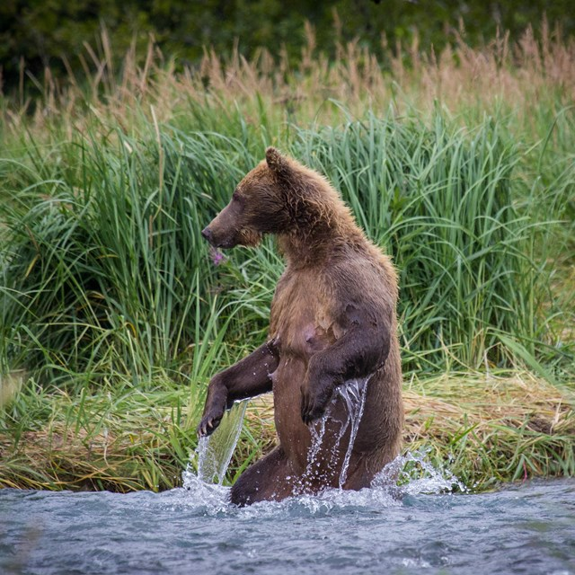 a bear sits on its hind legs in a river in Katmai national park
