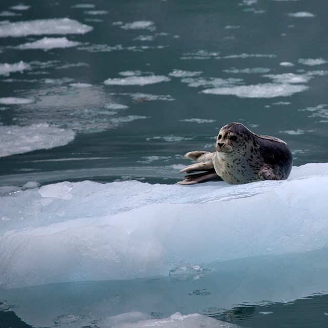 a seal rests on an iceberg in kenai fjords national park