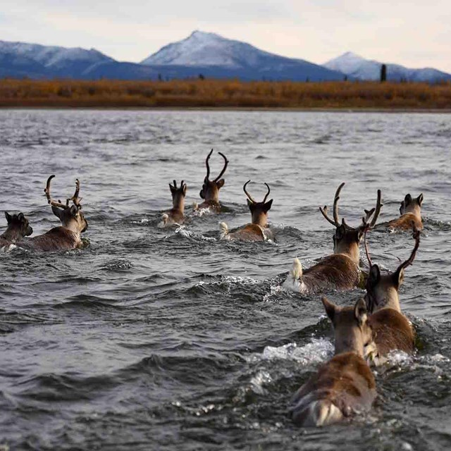 Caribou swim across a river in the fall.