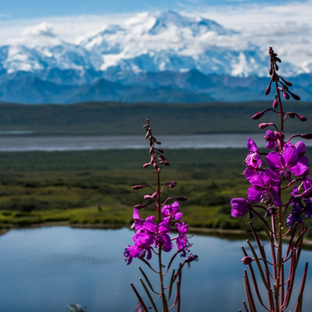 pink flowers in front of a lake and distant, snowy mountain