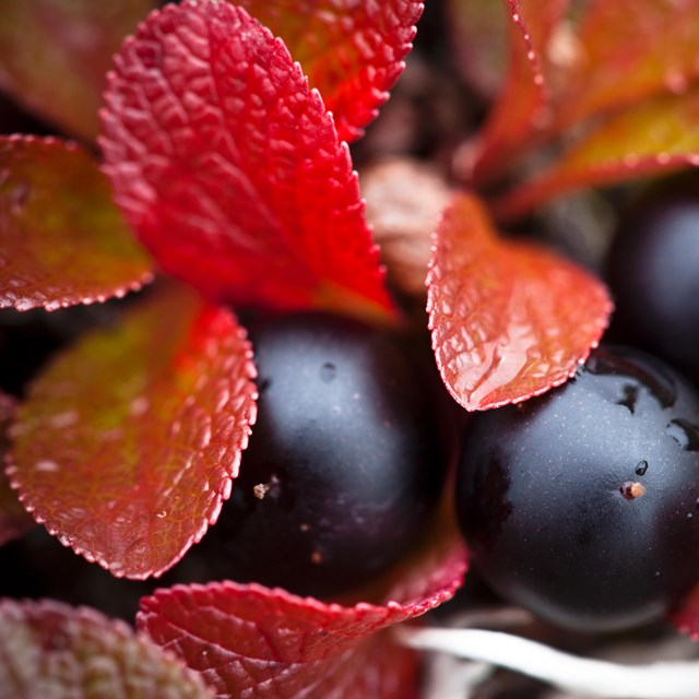 black crowberries nestled amid red leaves