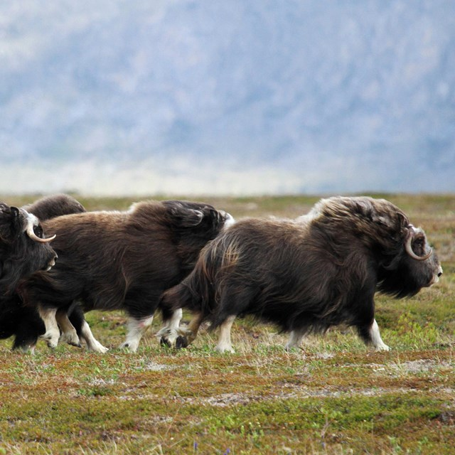 four muskox running in a field