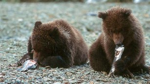 Two bear cubs enjoy a salmon snack.
