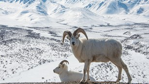 Dall sheep look out over the mountains