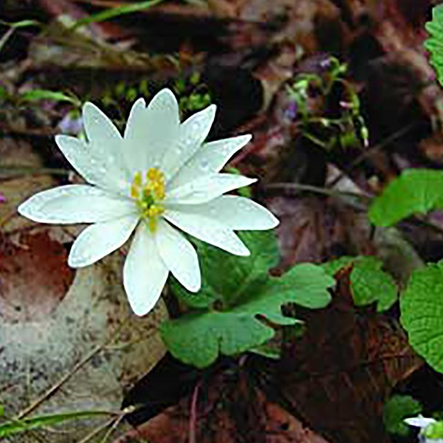 Bloodroot in flower (Sanguinaria canadensis)