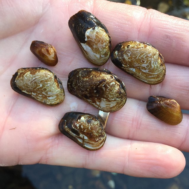 littlewing pearlymussel (Pegias fabula) in a the palm of a hand