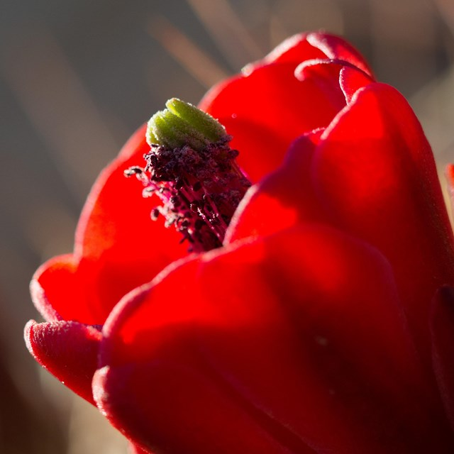 a red claretcup cactus flower