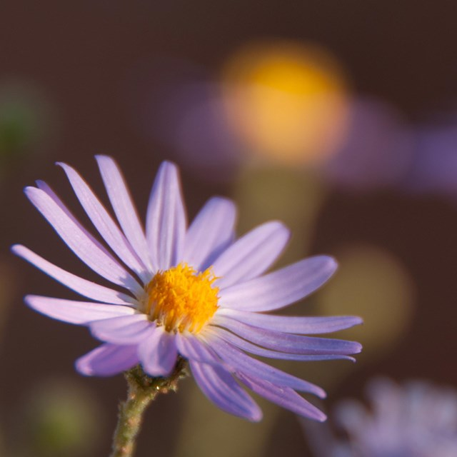 a flower with a yellow center and purplish petals