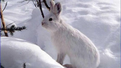 A white snowshoe hare blends in to the snow.