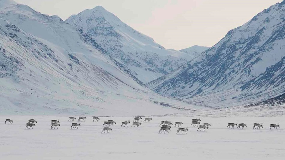 Caribou migration across a snowy valley.