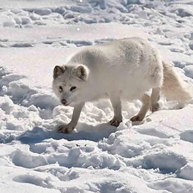 A white Arctic fox blends in with the snow.