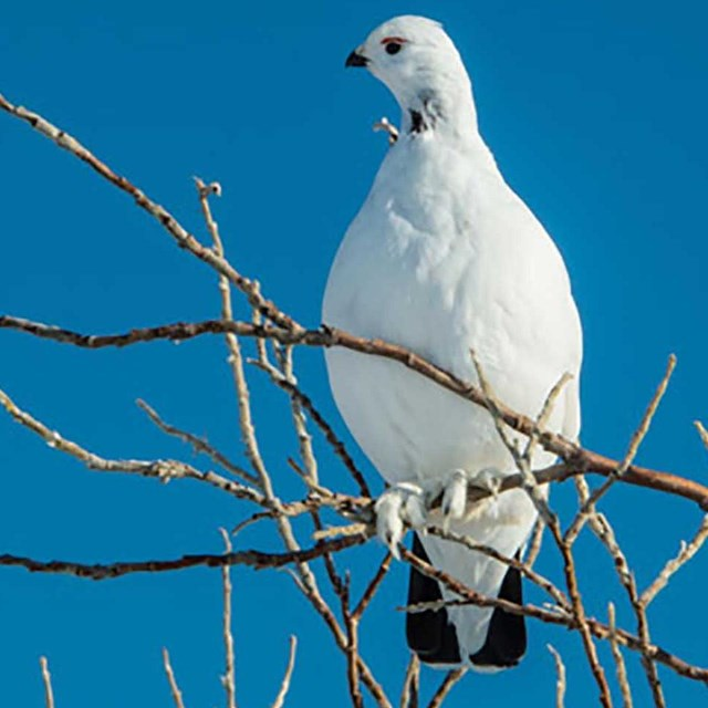A white ptarmigan sits on a branch with a bright blue sky behind.