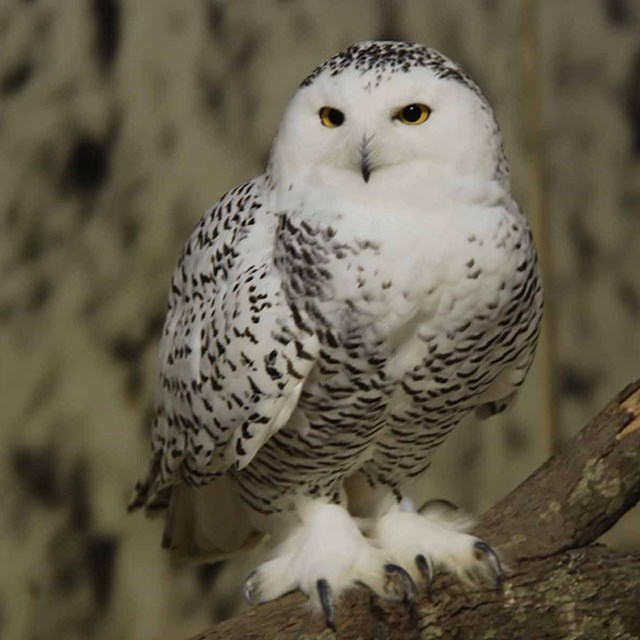 A snowy owl sits on a branch.