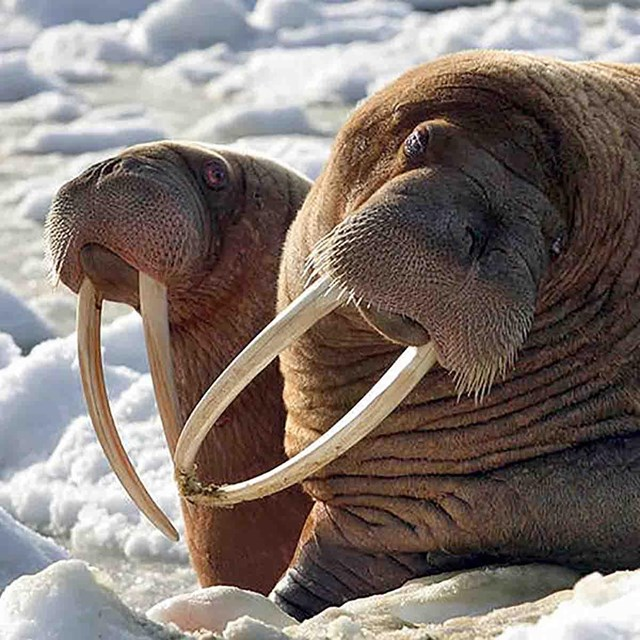 Two walrus hauled out on snowy ice.